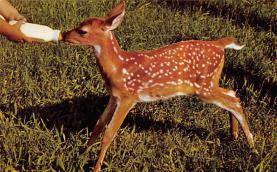 top005277 - Deer Post Card