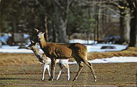 top005281 - Deer Post Card