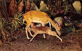 top005303 - Deer Post Card