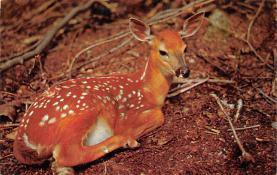 top005307 - Deer Post Card