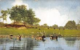 top005321 - Deer Post Card