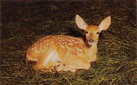 top005327 - Deer Post Card