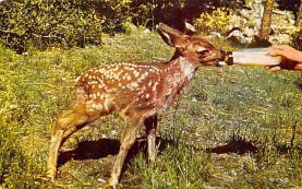 top005339 - Deer Post Card