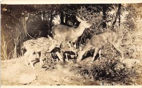 top005357 - Deer Post Card