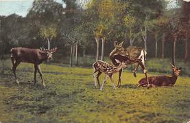 top005363 - Deer Post Card
