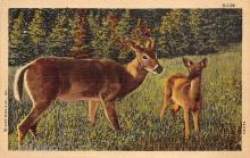 top005365 - Deer Post Card