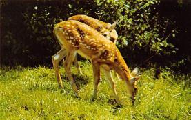 top005375 - Deer Post Card