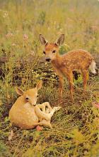 top005381 - Deer Post Card
