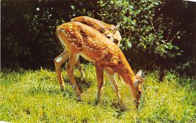 top005393 - Deer Post Card