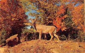 top005397 - Deer Post Card