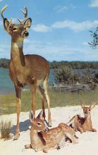 top005401 - Deer Post Card