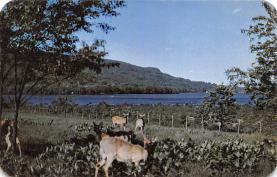 top005407 - Deer Post Card