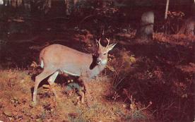 top005411 - Deer Post Card