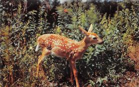 top005413 - Deer Post Card