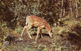top005417 - Deer Post Card