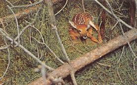 top005427 - Deer Post Card