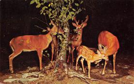 top005431 - Deer Post Card