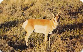 top005433 - Deer Post Card
