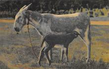 top005443 - Donkey Post Card