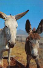 top005511 - Donkey Post Card