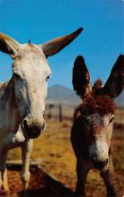 top005647 - Donkey Post Card