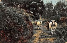 top005743 - Cow Post Card