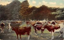 top005749 - Cow Post Card