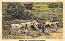 top005763 - Cow Post Card