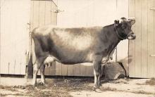 top005857 - Cow Post Card