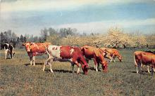 top005903 - Cow Post Card