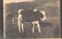 top005941 - Cow Post Card