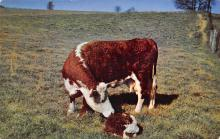 top005947 - Cow Post Card