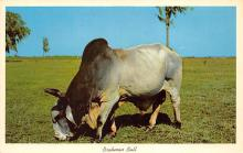 top005949 - Cow Post Card