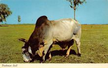 top005951 - Cow Post Card
