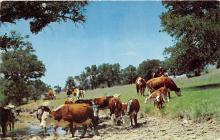 top005959 - Cow Post Card