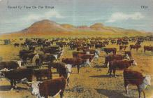 top005983 - Cow Post Card