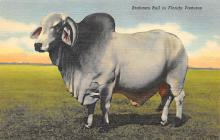 top005993 - Cow Post Card