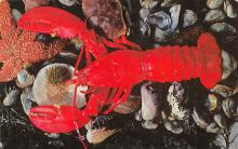 top006081 - Lobster Post Card
