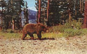 top006307 - Bear Post Card