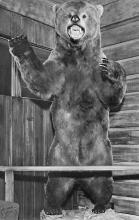 top006317 - Bear Post Card