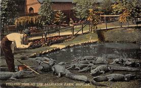 top006575 - Alligator Post Card