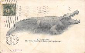 top006627 - Alligator Post Card