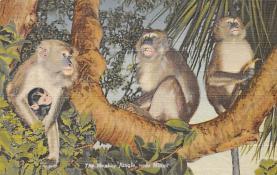 top006715 - Monkey Post Card