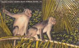 top006717 - Monkey Post Card