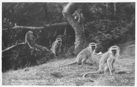 top006731 - Monkey Post Card