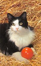 top007227 - Cat Post Card, Cats Postcards