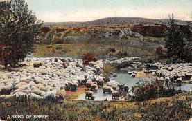 top007413 - Sheep Post Card