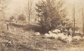 top007419 - Sheep Post Card