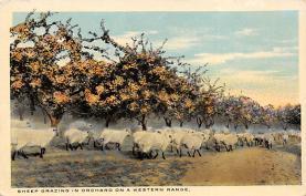 top007421 - Sheep Post Card