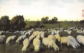 top007425 - Sheep Post Card